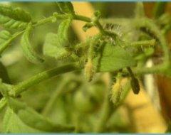 Чому після активного цвітіння не зав'язуються або погано зав'язуються помідори в теплиці: що робити