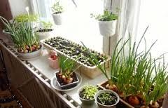 Врожай цілий рік: город на підвіконні